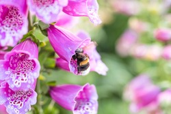 Bumblebee pollinating a perennial flower delphinium or larkspur using its unique method buzz pollination. High quality photo