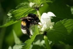 bumblebee pollinating flowers nettle