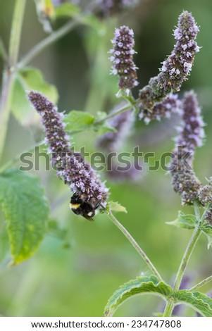 Bumblebee pollinating on Agastache Stock fotó ©