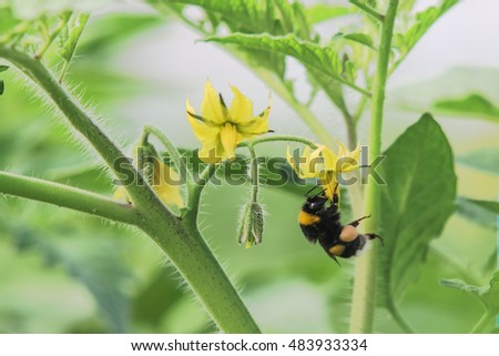bumblebee pollination making a flower of a bush planted in a greenhouse tomato