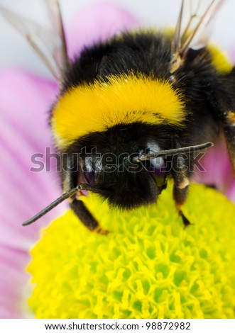 Bumblebee Pollination on Yellow Flower. Vertical Composition