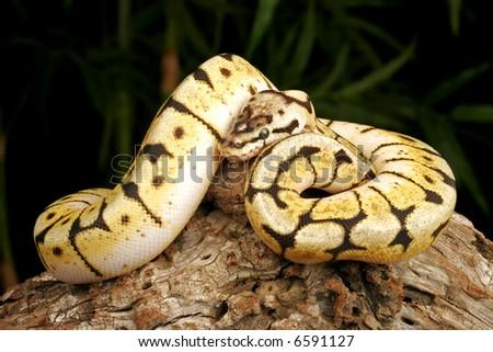 Bumblebee Python (Python regius). - stock photo