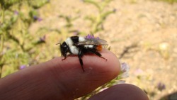 Bumblebee resting on my hands abdomen, hair and pollen, Handling Bumblebee Nature | Close Up The Beauty of pollination and fertilization  insects, insect, bee, bees, Bumblebees, Bumble bee, bugs, bug