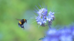Bumblebee with blue nectar on its legs collects pollen from a blue flower. Close up of a bumblebee froze in flight. Macro.