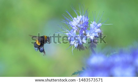 Bumblebee with blue nectar on its legs collects pollen from a blue flower. Close up of a bumblebee froze in flight. Macro. Stock photo ©