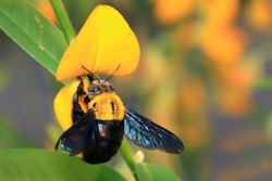 Bumblebees drink nectar and eat pollen. Carpenter bee.