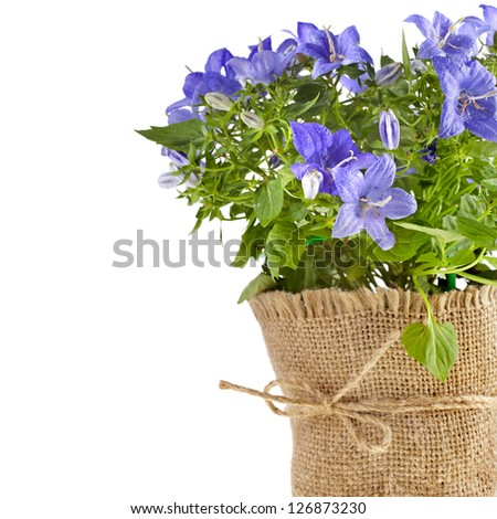 bunch bouquet of bellflowers  with copy space for text isolated on white background