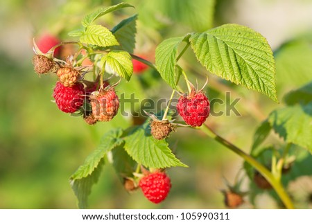 Bunch of a red raspberry.