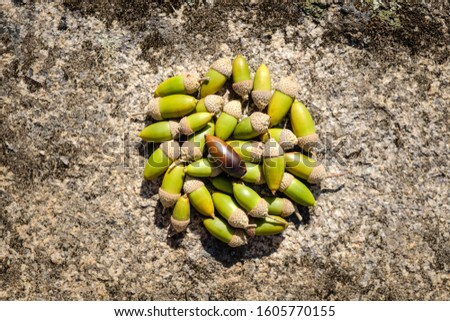 Bunch of acorns from cork oak tree grouped on the ground