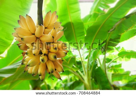 Bunch of  banana, banana tree background