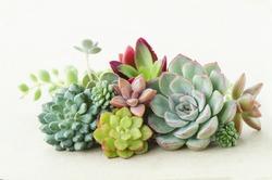 Bunch of beautiful flowering echeveria, sedum succulent house plants