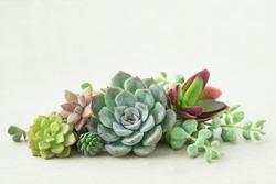 Bunch of beautiful flowering echeveria succulent plants