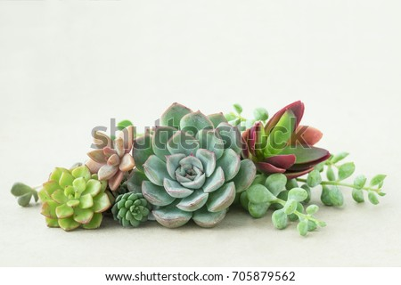 Bunch of beautiful flowering echeveria succulent plants