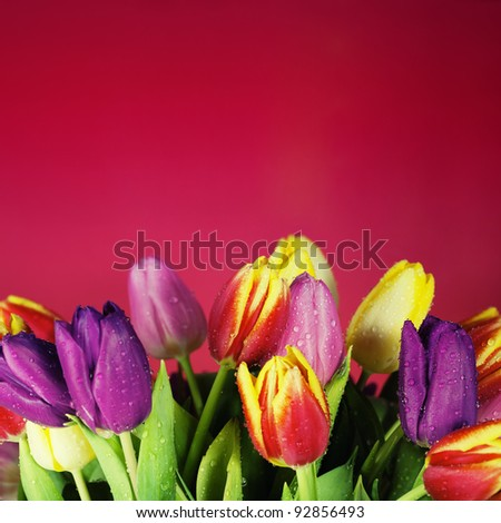 Bunch of beautiful spring flowers - colorful tulips against red background
