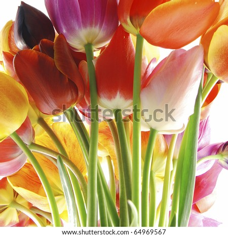 Bunch of beautiful spring flowers - colorful tulips against white background