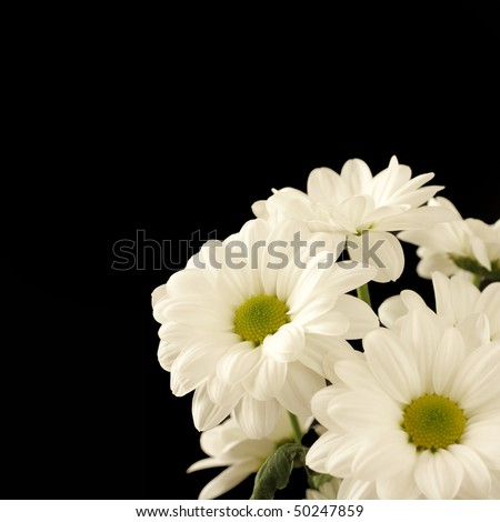 Bunch of beautiful white chrysanthems, isolated on black