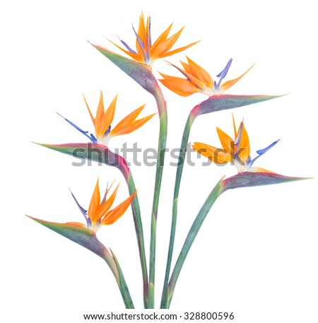 Bunch  of Bird of paradize fresh  flowers isolated on white background