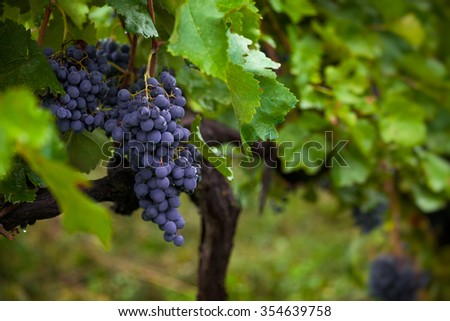 Bunch of black grapes in juicy green leaves