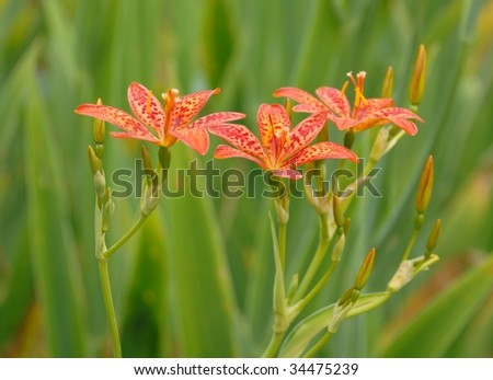bunch of Blackberry Lily flowers  closeup, blurred background