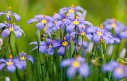 Bunch of blooming Sisyrinchium or Blue-eyed grass. Springtime in Texas Hill Country when wildflowers are blooming. Soft focus, shallow depth of field, dreamy edit.