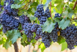 Bunch of blue grapes in the vineyard