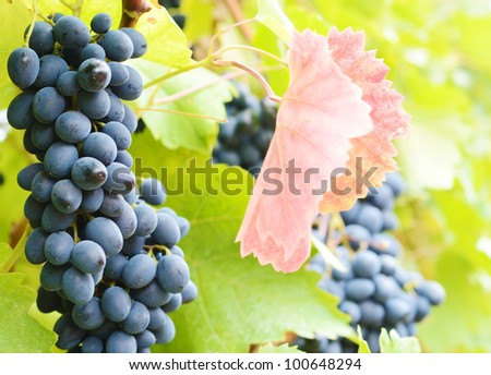 Bunch of blue grapes on vine at sunset time