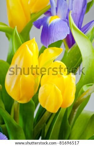 bunch of blue iris and yellow tulips closeup