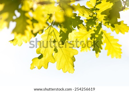 Bunch of bright vibrant green oak leaves in sunlight in spring season Oak is a tree or shrub in the genus Quercus. Photo taken in Poland, horizontal orientation, nobody.