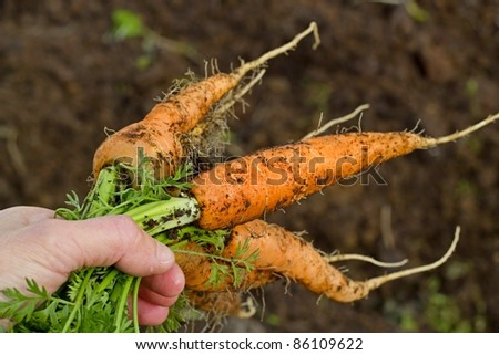 Bunch of carrots pulled from the vegetable garden