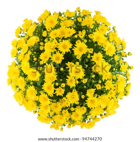 Bunch of chrysanthemum, white isolated background.