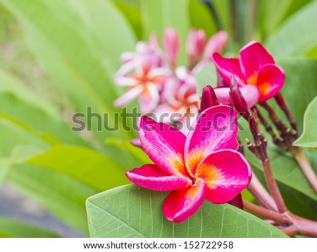 Photo of Bunch of colorful fragrant frangipani or plumeria tropical flowers