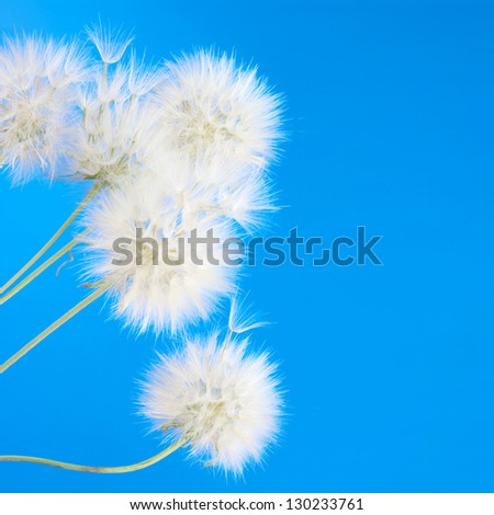 Bunch of dandelions on blue background.