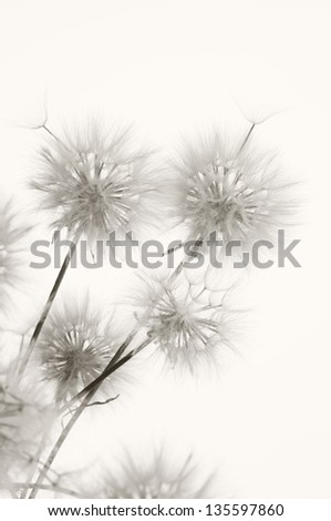 Bunch of dandelions on light background. Sepia. - Shutterstock ID 135597860