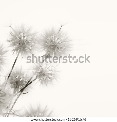 Bunch of dandelions on light background. Sepia. - Shutterstock ID 152591576