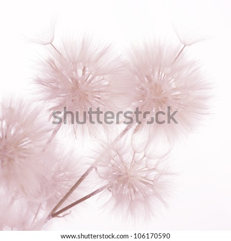 Bunch of dandelions on light background. Toned image.