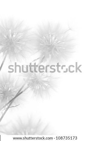 Bunch of dandelions on white background. Black&white, high key.