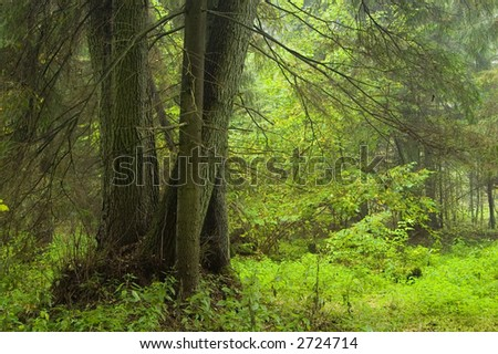 Bunch of european alder tree, old natural forest,early autumn, Europe,Poland,Bialowieza Forest