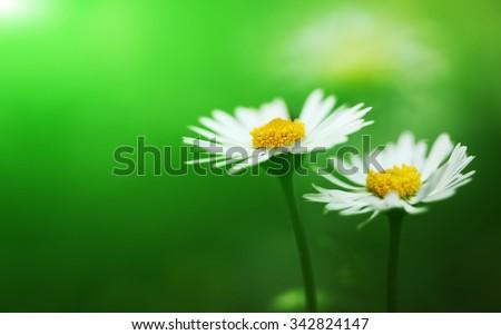 Bunch of flowering white daisies