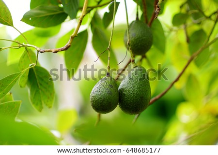 Bunch of fresh avocados ripening on an avocado tree branch in sunny garden