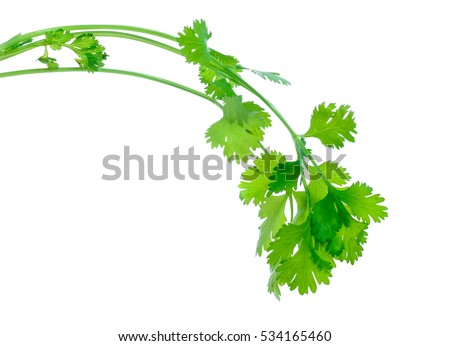 Bunch of fresh coriander leaves over white background #534165460