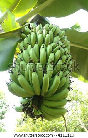 Bunch of fresh green bananas on banana farm tree