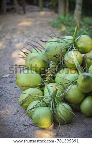 Bunch of fresh green coconuts (Cocos nucifera)