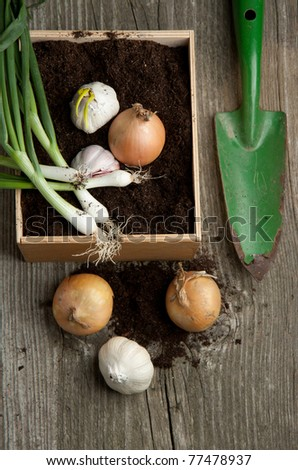 Bunch of fresh green onions in soil with bulbs of onion and garlic and green garden spade on old wooden table