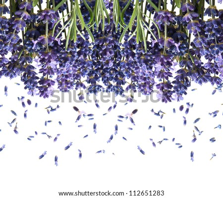 bunch of fresh lavender flowers isolated on white background
