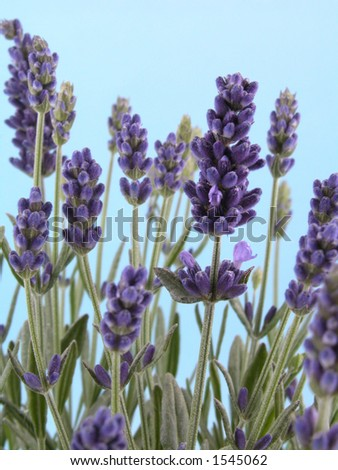 bunch of fresh lavender isolated on blue