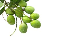 Bunch of fresh Mangoes isolated on white background with clipping path  / Image Selective focus
