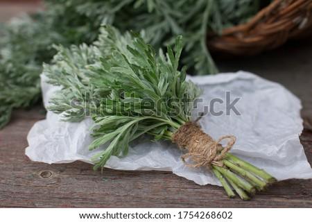Bunch of fresh mugwort (Artemisia absinthium, absinthe, absinthium, sagebrush, mugwort). Medicinal plant