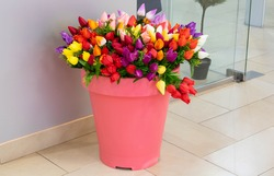bunch of fresh muticolored tulips in pink pot they stand on the tiled floor