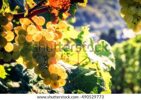 Bunch of fresh organic grape on vine branch. Wine making concept