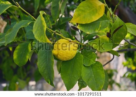 Bunch of fresh ripe lemons on a lemon tree branch in sunny garden ...